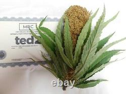 Ted 2 Screen used Movie prop fake weed w CoA Please read Wahlberg Rare